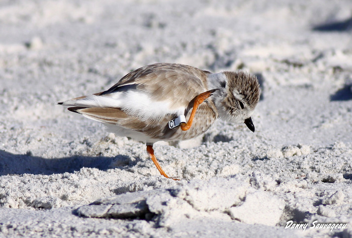 Piping Plover - Danny Sauvageau