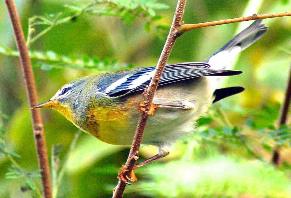 BAHAMAS - Northern Parula Warbler, Abaco -  Becky Marvil