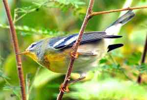 BAHAMAS - Northern Parula Warbler, Abaco -  Becky Marvil