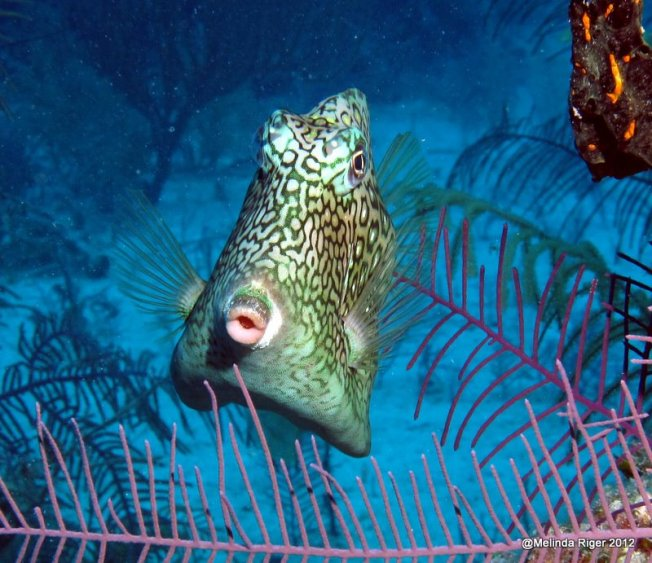 Cowfish 2 ©Melinda Riger @ Grand Bahama Scuba copy