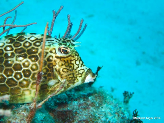Cowfish ©Melinda Riger @ GB Scuba