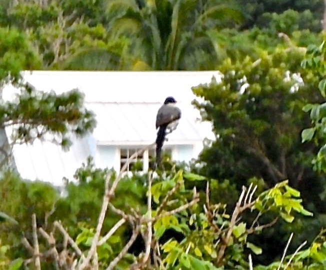 Fork-tailed Flycatcher, Abaco (Shirley Cartwright)