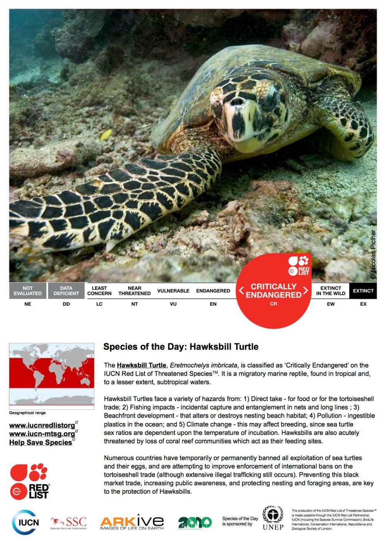 Hawksbill Turtle Eretmochelys imbricata (IUCN Red List)