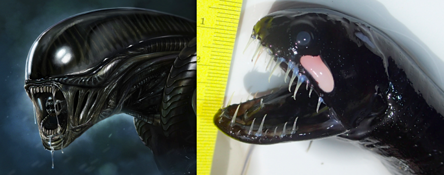 Scaleless Black Dragonfish c/w Alien - BMMRO Abaco