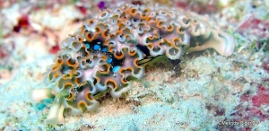 Lettuce Sea Slug ©Melinda Riger @ Grand Bahama Scuba copy
