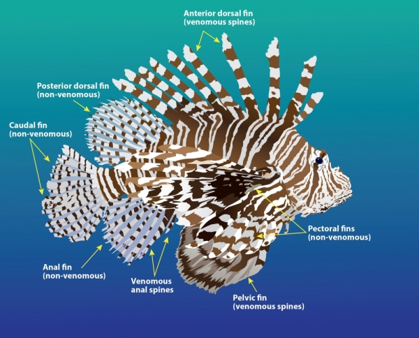 Lionfish Anatomy