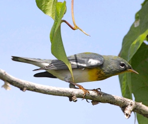 Northern Parula, Abaco - Bruce Hallett (adult male)