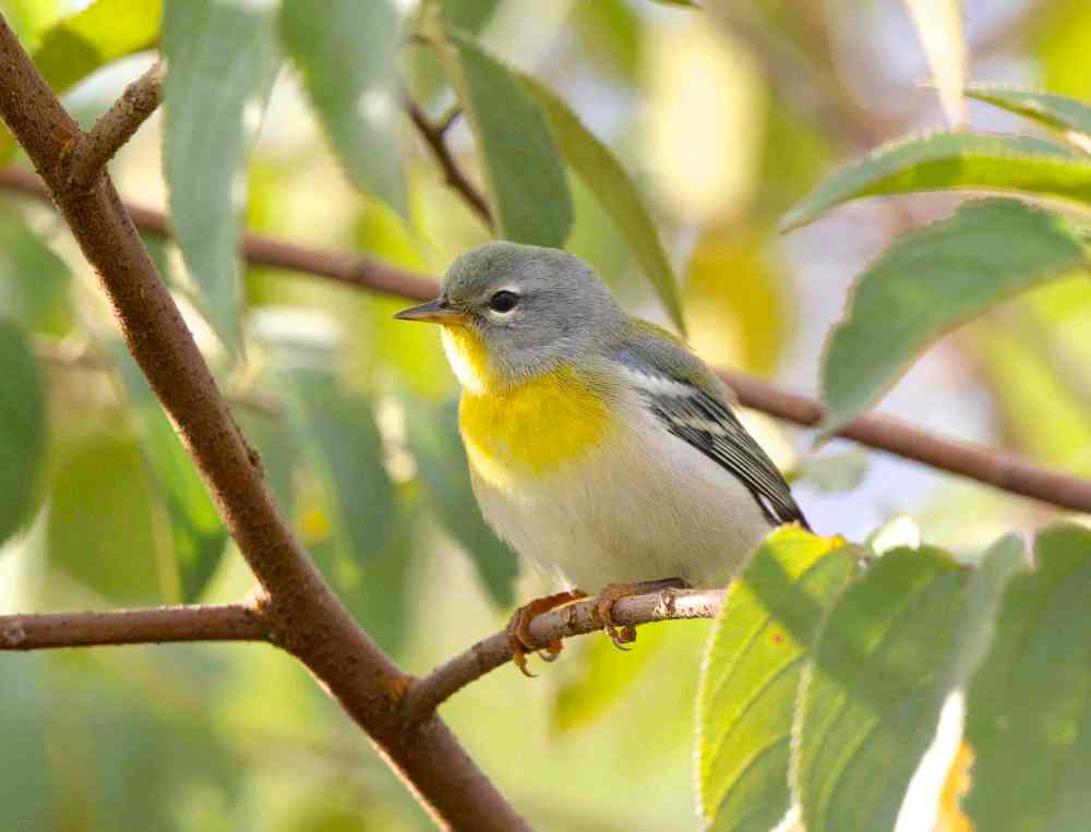 Northern Parula, Abaco - Bruce Hallett (imm. - 1st fall female)