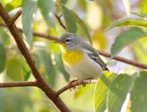Northern Parula, Abaco - Bruce Hallett (imm. - 1st fall female)
