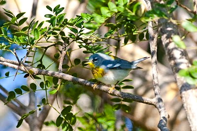Northern Parula,  Abaco Craig Nash