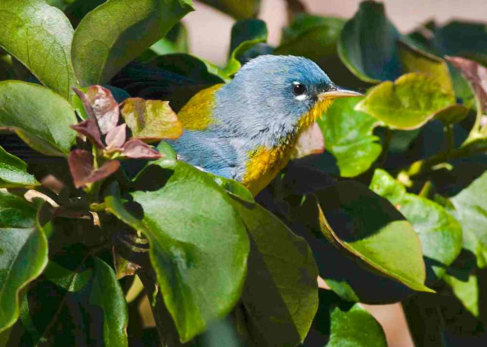 Northern Parula, Abaco (Craig Nash)