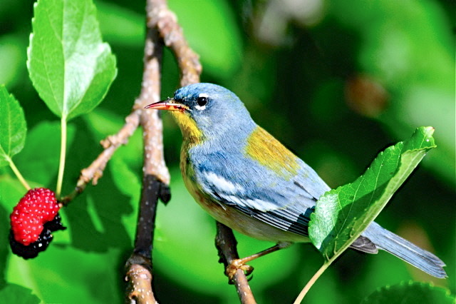 Northern Parula, Abaco (Woody Bracey)