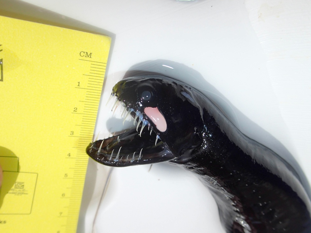Scaleless Black Dragonfish - BMMRO Abaco