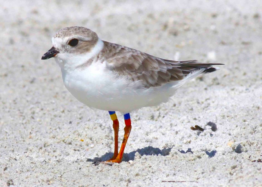 Piping Plover (Danny Sauvageau) 1
