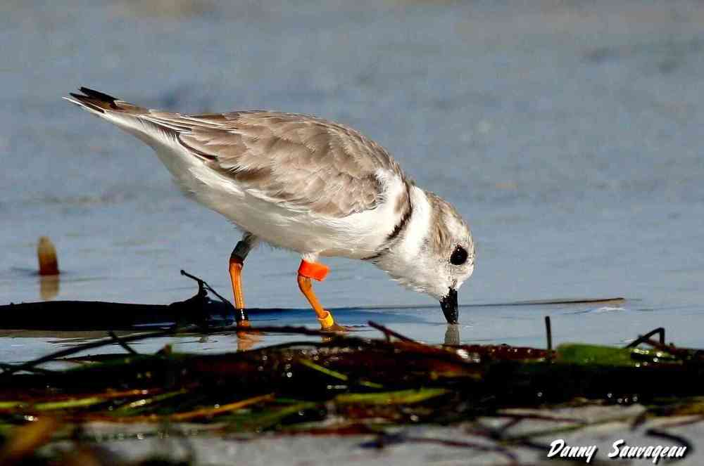 Piping Plover (Danny Sauvageau) 2