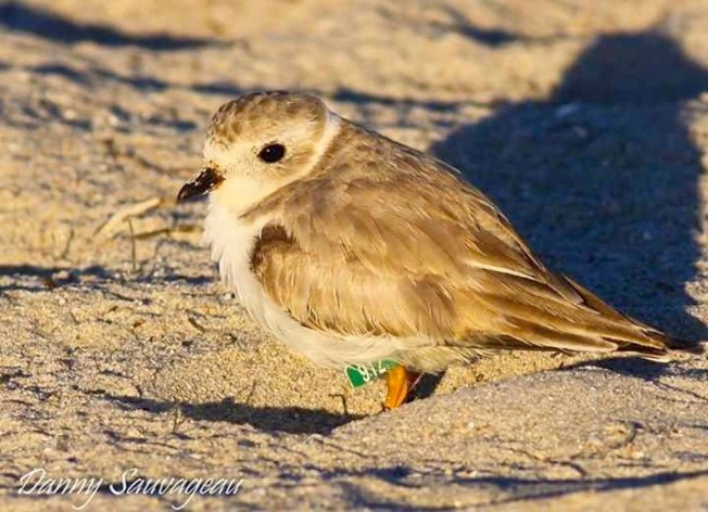 Piping Plover (Danny Sauvageau) 3