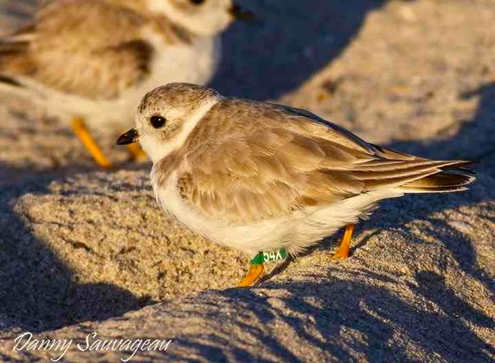 Piping Plover (Danny Sauvageau) 4