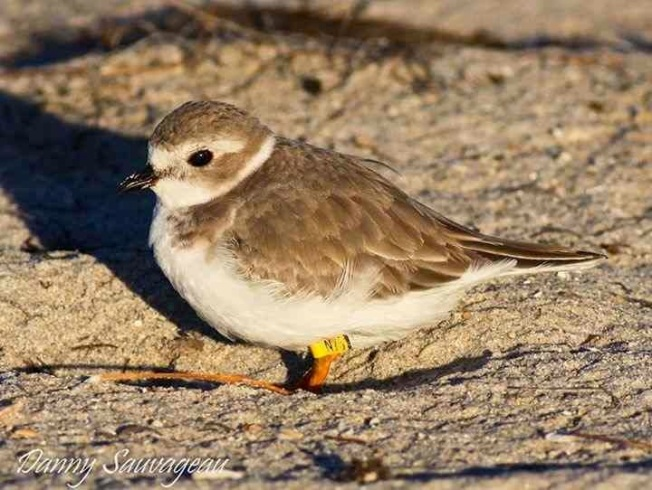 Piping Plover (Danny Sauvageau) 5