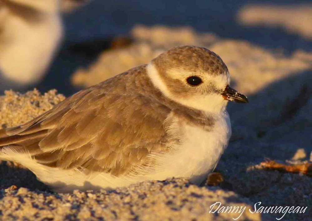 Piping Plover (Danny Sauvageau) 6