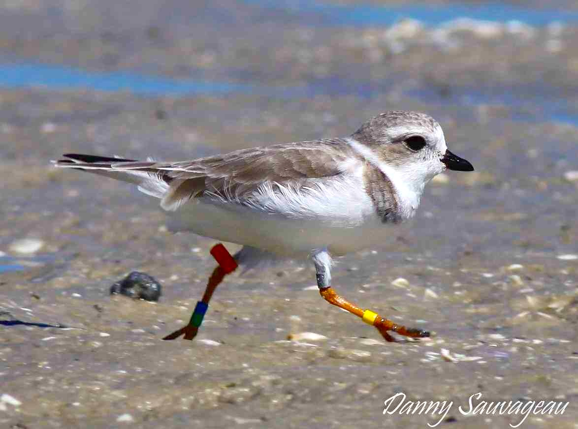 Piping Plover (Danny Sauvageau) 7