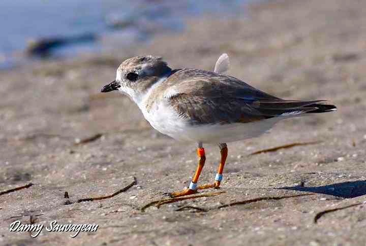 Piping Plover (Danny Sauvageau) 8