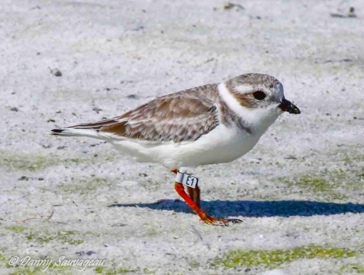 Piping Plover (Danny Sauvageau) 9