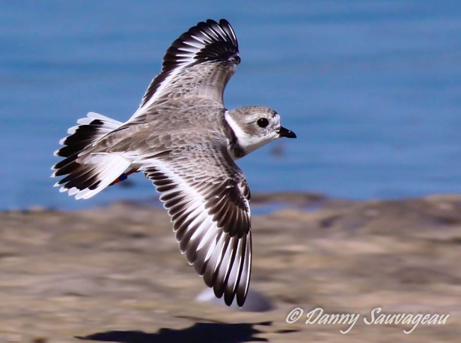 Piping Plover in flight (Fl., Danny Sauvageau)