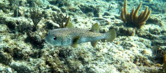 Porcupine Fish (Virginia Cooper via G B Suba)