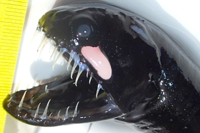 Scaleless Black Dragonfish - Header - BMMRO Abaco