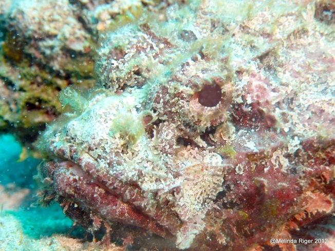 Scorpionfish Close-up ©Melinda Riger @GBS copy