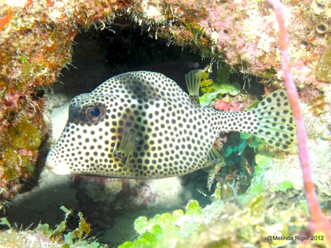 Trunkfish ©Melinda Riger @GBS copy 3