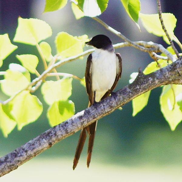 Tyrannus_savanna-Fork-tailed_Flycatcher Hector Bottai wikimedia