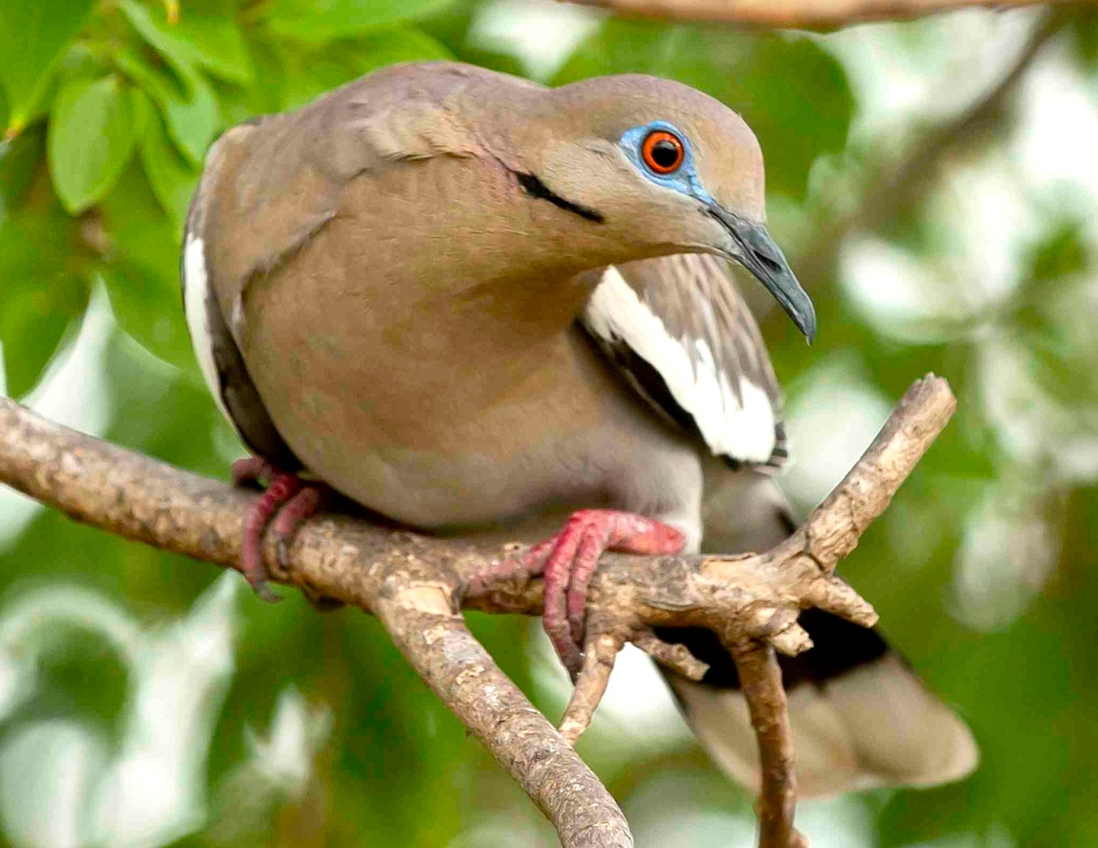 White-winged Dove, Abaco Bahamas - Tom Sheley crop - Version 2