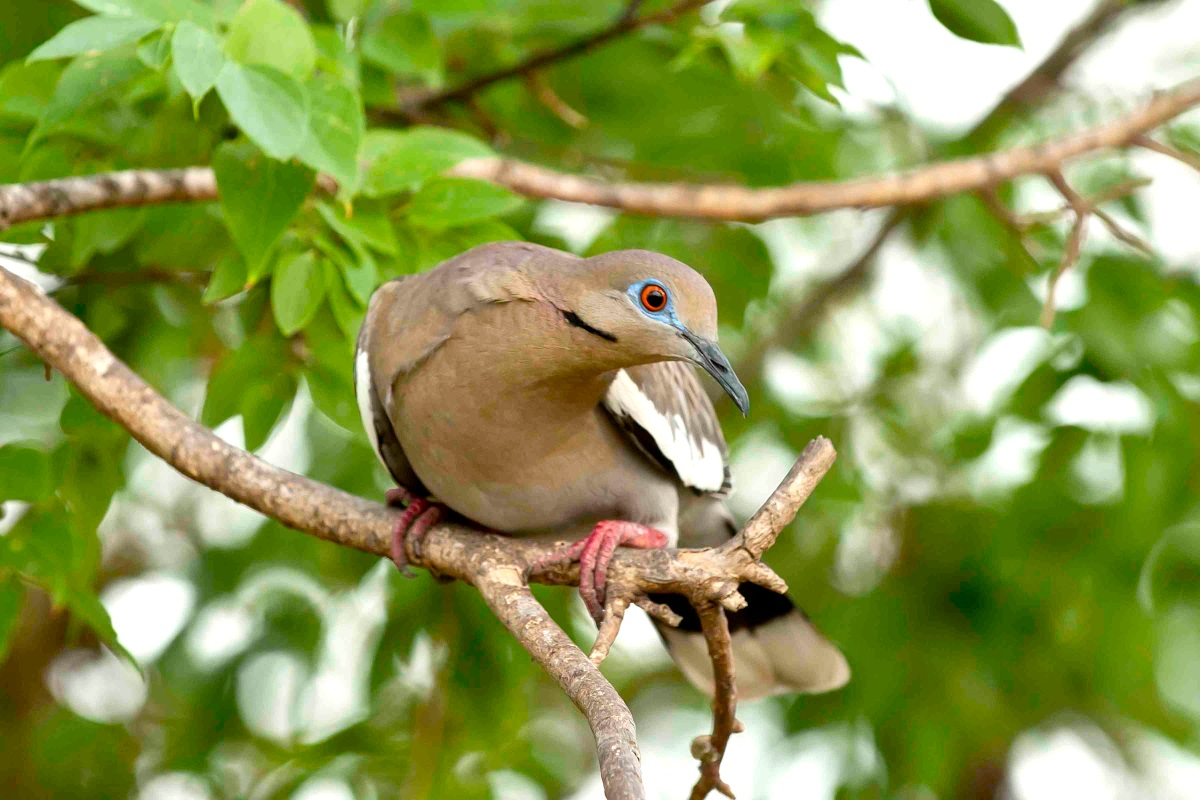 White-winged Dove, Abaco Bahamas - Tom Sheley