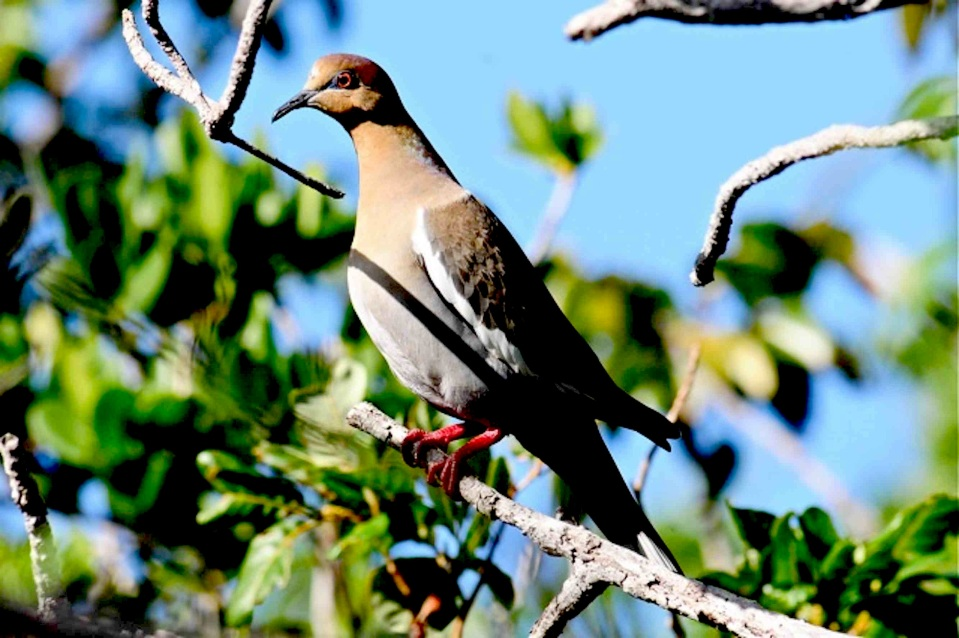 White-winged Dove, Abaco - Tony Hepburn