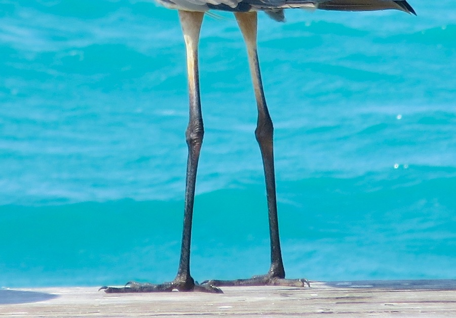 Great Blue Heron, Sandy Point, Abaco - Keith Salvesen 10