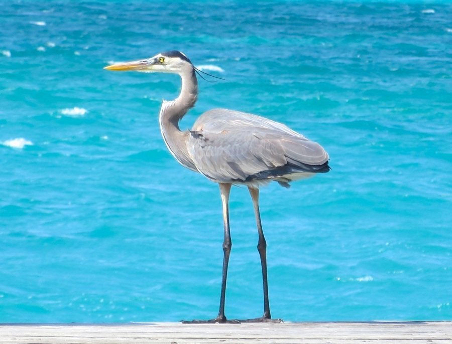 Great Blue Heron, Sandy Point, Abaco - Keith Salvesen 11