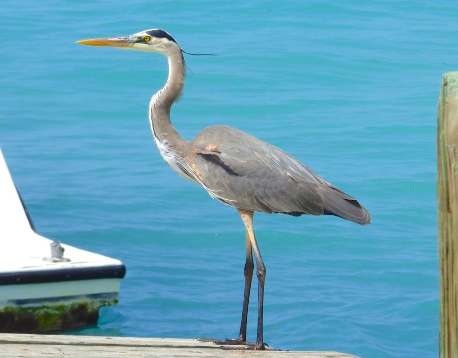 Great Blue Heron, Sandy Point, Abaco - Keith Salvesen 2
