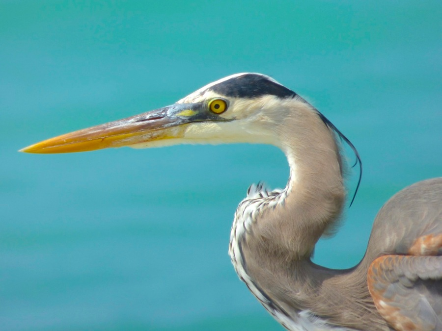 Great Blue Heron, Sandy Point, Abaco - Keith Salvesen 3
