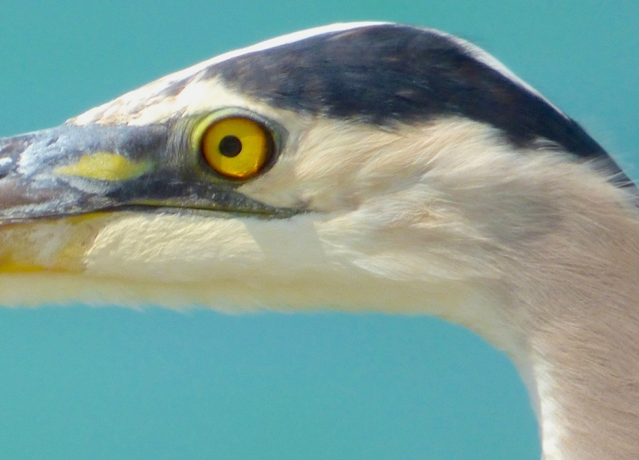 Great Blue Heron, Sandy Point, Abaco - Keith Salvesen 5
