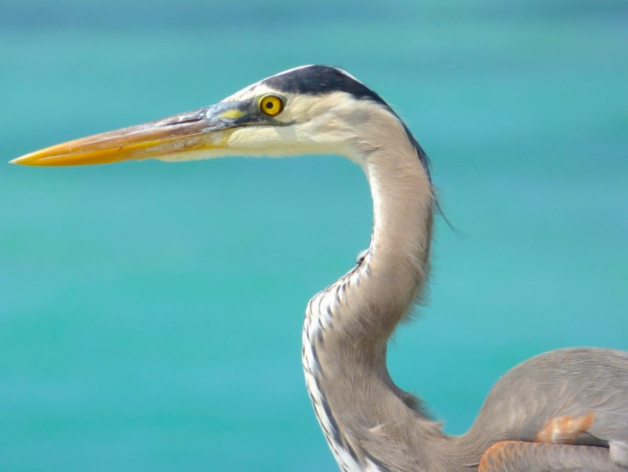 Great Blue Heron, Sandy Point, Abaco - Keith Salvesen 6