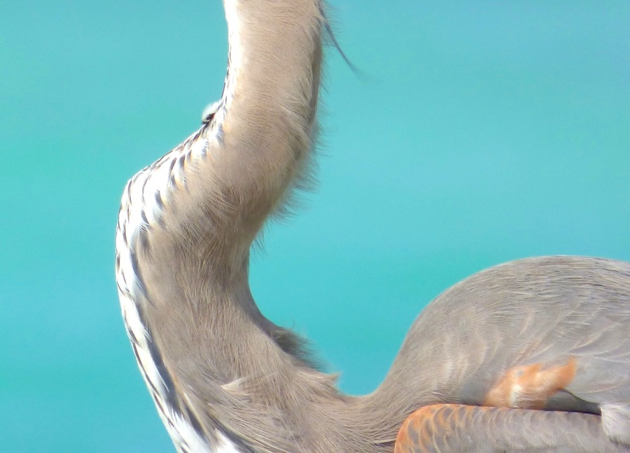 Great Blue Heron, Sandy Point, Abaco - Keith Salvesen 7