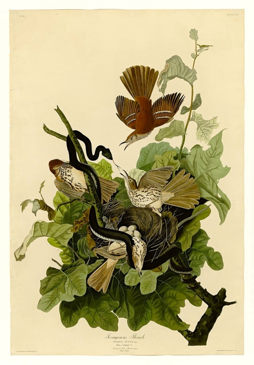 John James Audubon - Ferruginous Thrush