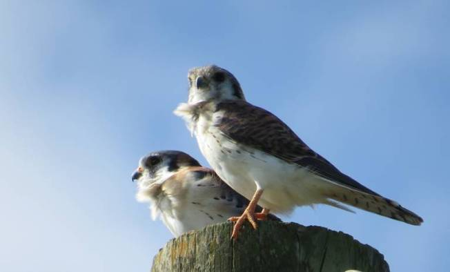 American Kestrels, Abaco (Becky Marvil)