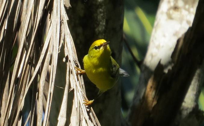 Blue-winged Warbler, Abaco (Becky Marvil) 2