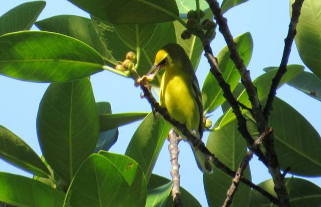 Blue-winged Warbler, Abaco (Becky Marvil)