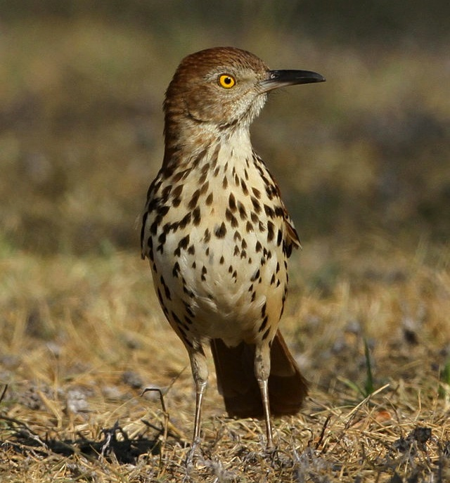 Brown Thrasher (Manjith Kainickara - Wiki)