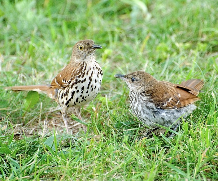 Brown Thrasher Toxostoma rufum, Virginia - cbgrfx123 wiki