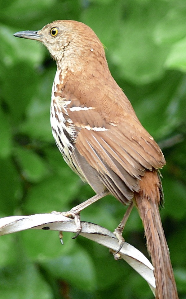 Brown_Thrasher (Ken Thomas wiki)