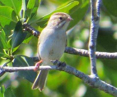 Clay-colored Sparrow, Abaco (Becky Marvil)